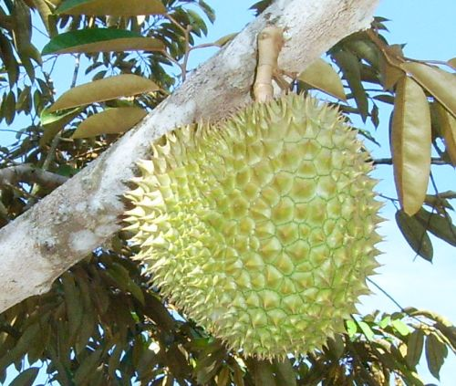 http://www.thecarricks.net/image/durian.jpg